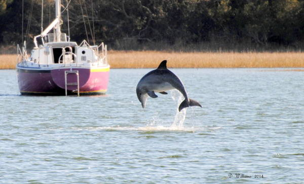 Photograph - Dolphin Jumping In Taylors Creek by Dan Williams