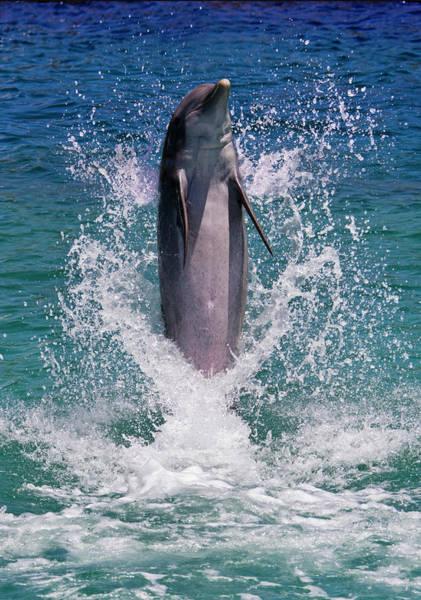 Roatan Photograph - Dolphin Standing Above Water, Roatan by Keren Su