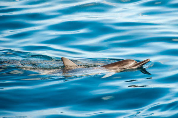 Photograph - Dolphin Watch by Dan McManus