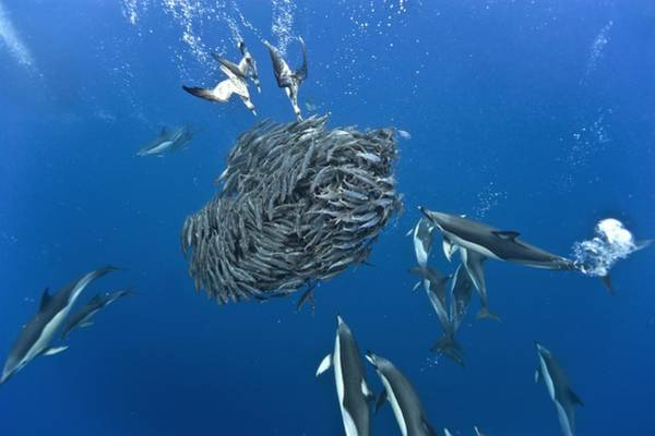 Bait Ball Photograph - Dolphins And Shearwaters Hunting by Science Photo Library