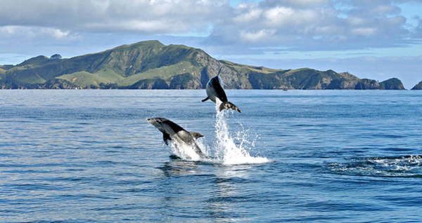 Dolphins In The Bay Of Islands Art Print