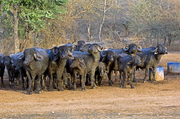 South Buffalo Photograph - Domestic Asian Water Buffalo Herd by Tony Camacho/science Photo Library