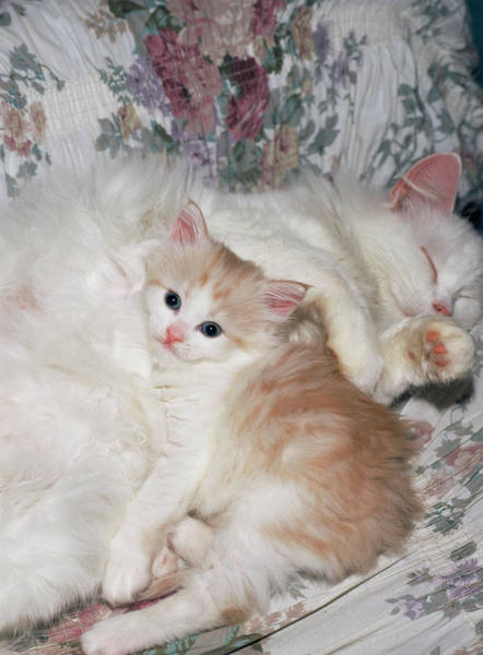 Wall Art - Photograph - Domestic Cat And Kitten by Bjorn Svensson/science Photo Library