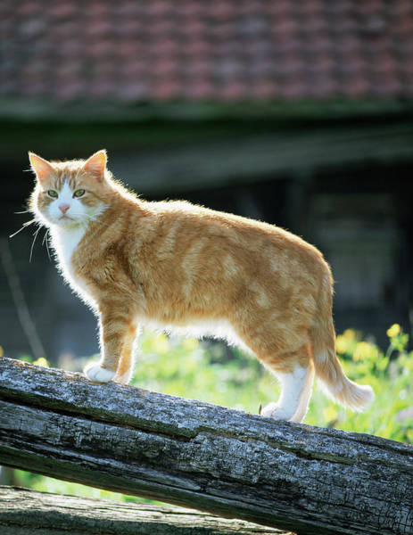 Ginger Cat Photograph - Domestic Cat by Bjorn Svensson/science Photo Library