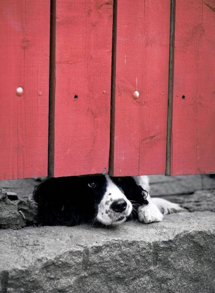 Spaniel Photograph - Domestic Dog by Bjorn Svensson/science Photo Library