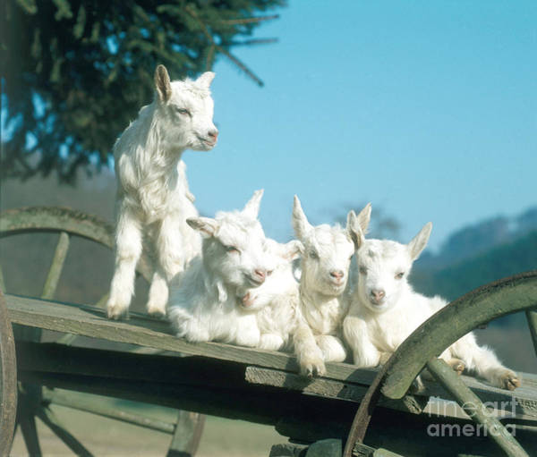Photograph - Domestic Goats by Hans Reinhard
