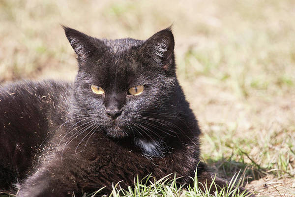 Black Cats Photograph - Domestic Shorthair Cat Laying In Grass by Piperanne Worcester
