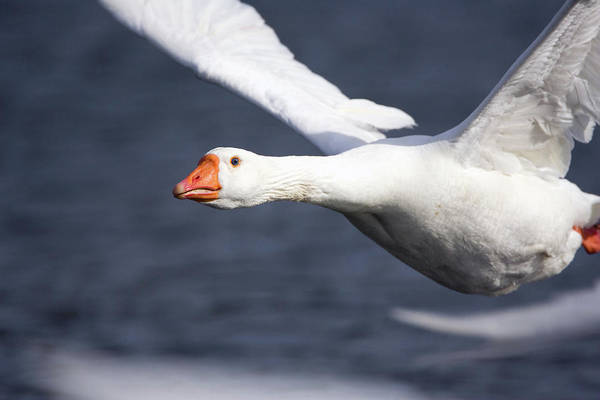 Wall Art - Photograph - Domesticated Goose In Flight by John Devries/science Photo Library