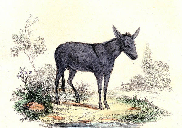 Equus Africanus Photograph - Donkey by Collection Abecasis