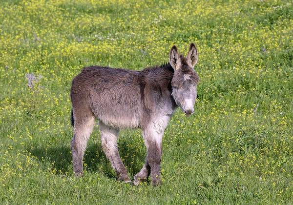 Equus Africanus Photograph - Donkey In Flowery Pasture by Bob Gibbons/science Photo Library