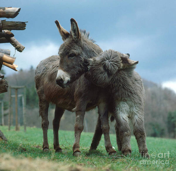 Photograph - Donkeys by Hans Reinhard