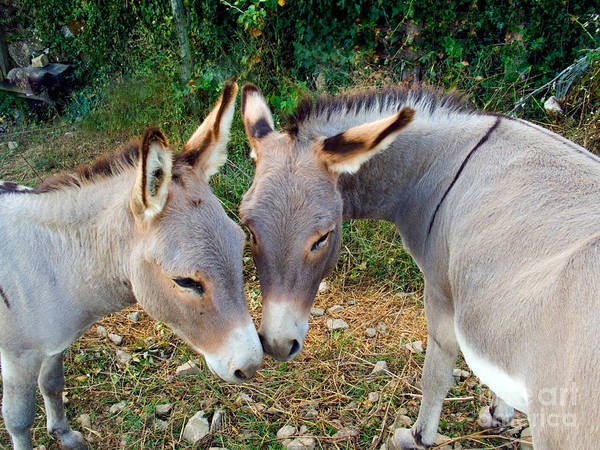 Photograph - Donkeys by Tim Holt