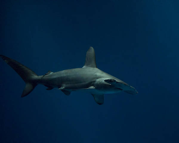 Hammer Head Shark Wall Art - Photograph - Donnie Sharko by Diego Re