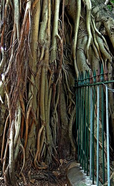 Indian Banyan Photograph - Don't Fence Me In. by Denise Clark