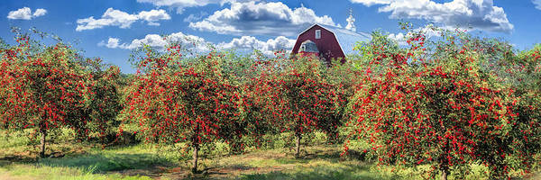 Painting - Door County Cherry Harvest And Red Barn Panorama by Christopher Arndt