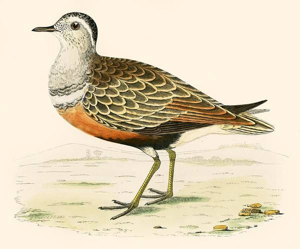Wildfowl Photograph - Dotterel by Beverley R. Morris