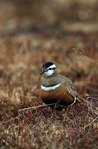 Moorland Photograph - Dotterel by Leslie J Borg/science Photo Library