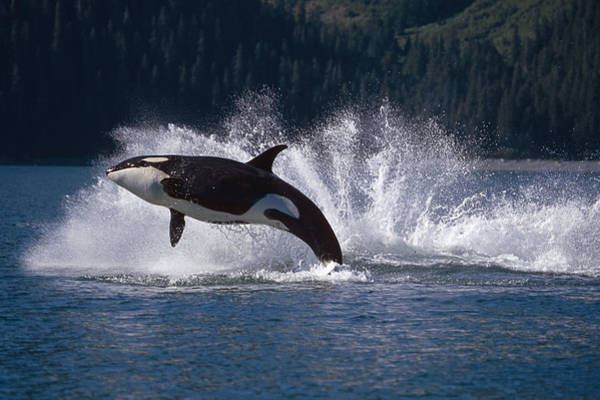 Jumping Photograph - Double Breaching Orcas Bainbridge by Calvin Hall