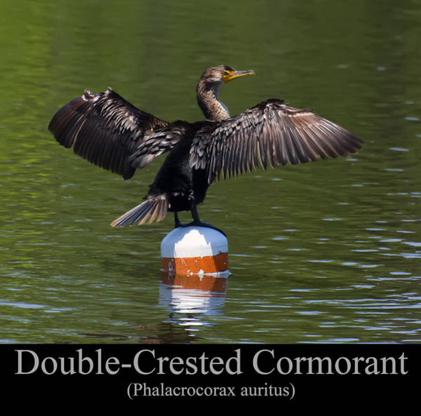 Phalacrocorax Auritus Wall Art - Digital Art - Double Crested Cormorant by Chris Flees