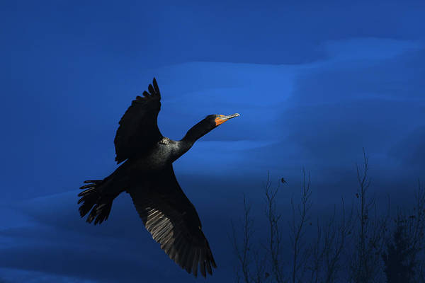 Cormorant Photograph - Double-crested Cormorant by Donna Kennedy