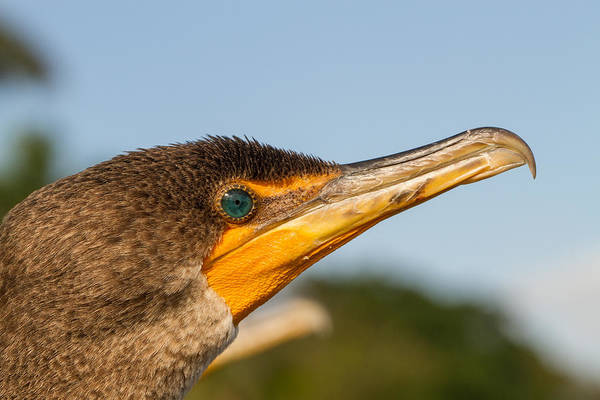 Photograph - Double-crested Cormorant by Doug McPherson