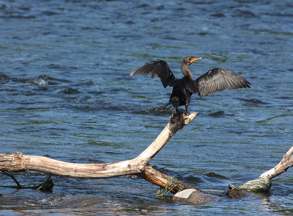Wall Art - Photograph - Double Crested Cormorant by Jeanne White