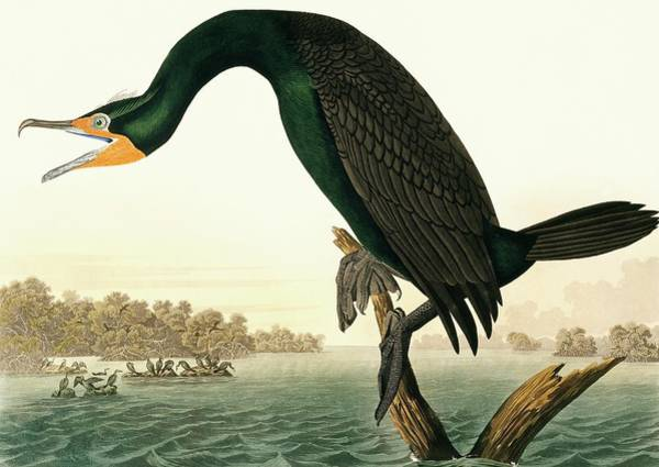 Phalacrocorax Auritus Wall Art - Photograph - Double-crested Cormorant by Natural History Museum, London/science Photo Library