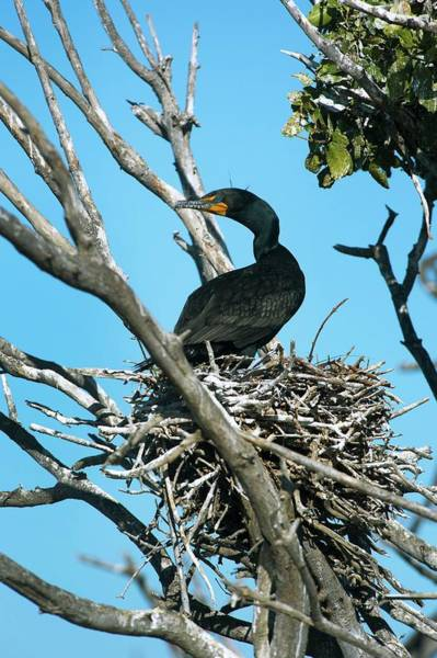 Phalacrocorax Auritus Wall Art - Photograph - Double-crested Cormorant Nesting by Christopher Swann/science Photo Library
