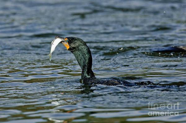 Phalacrocorax Auritus Wall Art - Photograph - Double-crested Cormorant With Fish by Anthony Mercieca