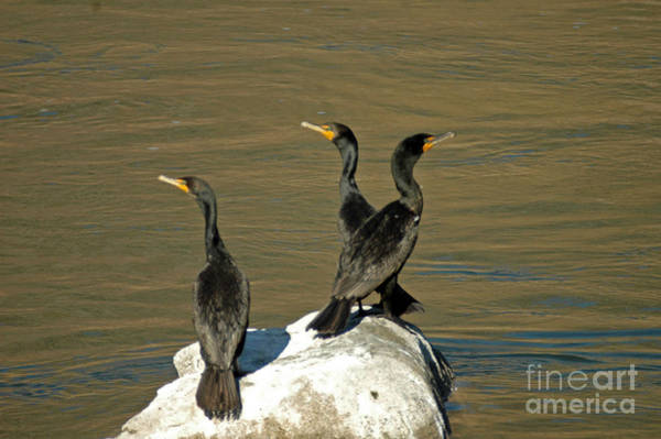 Photograph - Double Crested Cormorants by NightVisions
