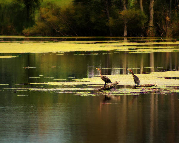 Photograph - Double Crested Cormorants by Scott Hovind