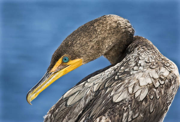 Double Crested Cormorant Photograph - Double Crested  by Patrick M Lynch