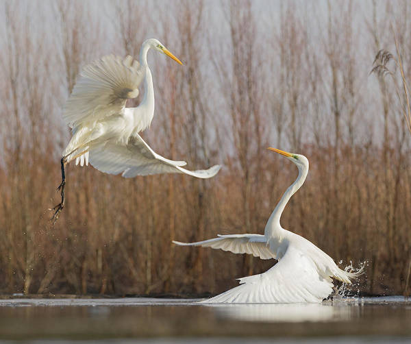 Egrets Wall Art - Photograph - Double Dance - 2 by Cheng Chang