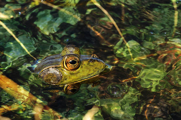 Bullfrog Photograph - Double Dare Ya by Donna Kennedy