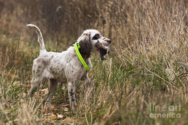 Fetch Photograph - Double Duty - D009287 by Daniel Dempster