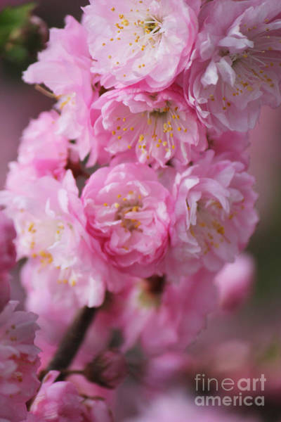 Photograph - Double Flowering Plum Feature by Donna L Munro