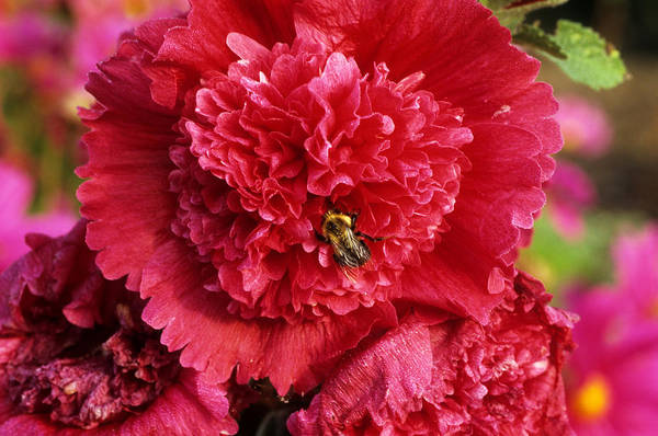 Wall Art - Photograph - Double Hollyhock With Bee by Jeanne White