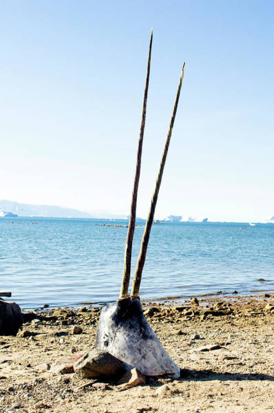 Wall Art - Photograph - Double-tusked Narwhal Head On Beach by Louise Murray/science Photo Library