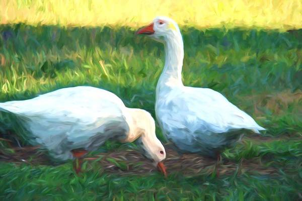 Photograph - Double White Geese by Alice Gipson