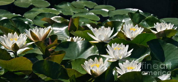 Photograph - Double White Hardy Water Lilies by Byron Varvarigos