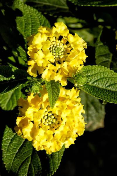 Photograph - Double Yellow by Goyo Ambrosio
