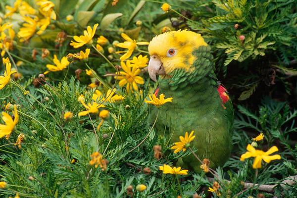 Wall Art - Photograph - Double Yellow-headed Amazon Parrot by Craig K. Lorenz