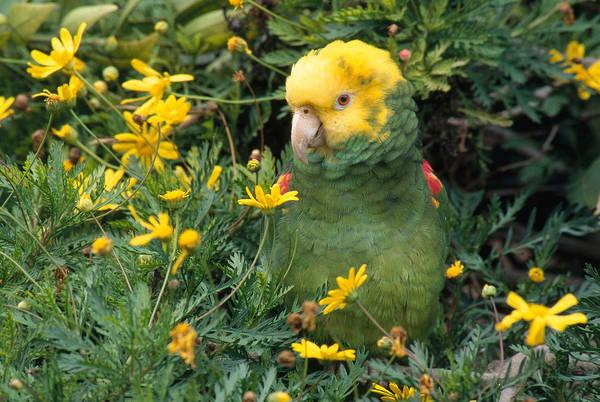 Wall Art - Photograph - Double Yellow Headed Parrot by Craig K. Lorenz