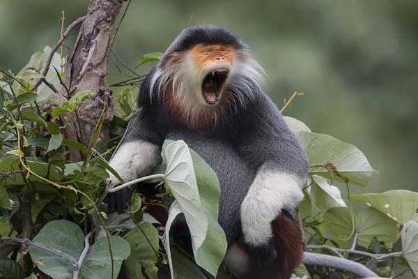 Yawn Photograph - Douc Langur Male Yawning Vietnam by Cyril Ruoso