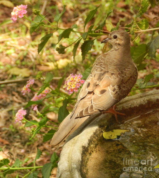 Photograph - Dove And Lantana by Grace Dillon