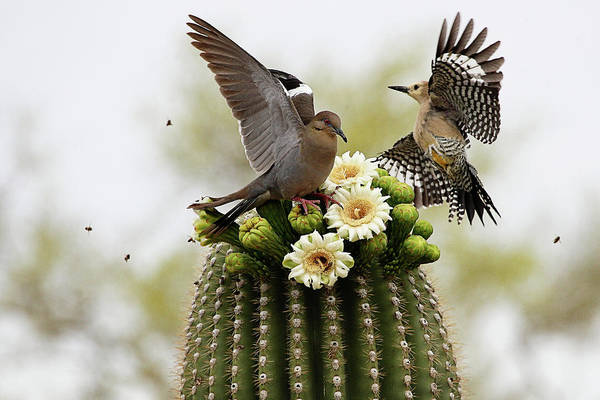 Bee On Flower Wall Art - Photograph - Dove And Woodpecker On Blooming Saguaro by Barbaracarrollphotography