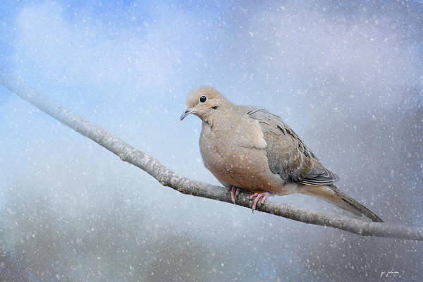 Photograph - Dove In The Snow by Jai Johnson