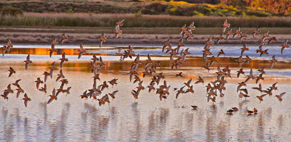San Elijo Wall Art - Photograph - Dowitchers by Thomas Kaestner