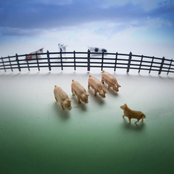 Pig Photograph - Down On Farm by Peter Chadwick Lrps