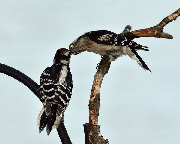 Photograph - Downey Woodpecker Pair by Walt Sterneman